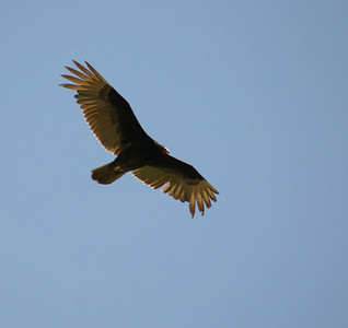 Turkey vulture in flight.  Photo by Scott Root, Utah Division of Wildlife Resources.