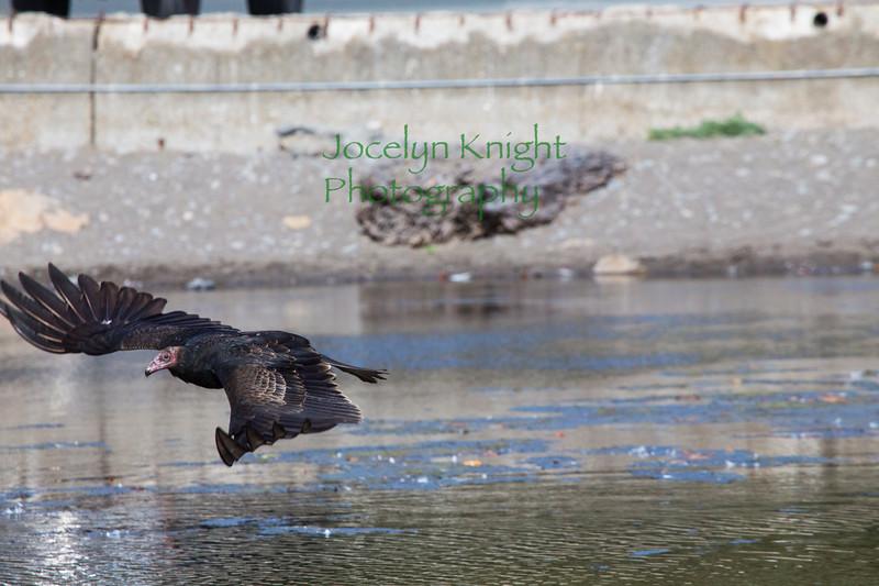 Vulture4041
