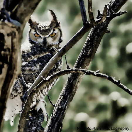 Owl in Arizona