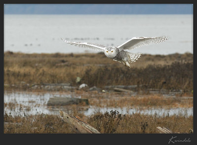 A Snowy Owl decides the people with cameras and spotting scopes are safer than the hunters out on the foreshore.