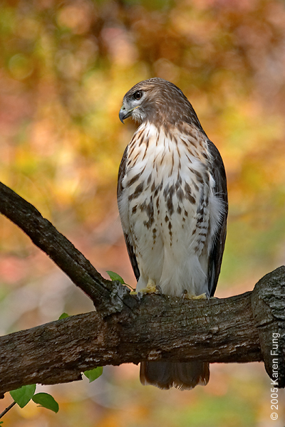 Red-tailed Hawk at the New York Botanical Garden (Bronx)