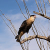 Crested Caracara at Desert museum