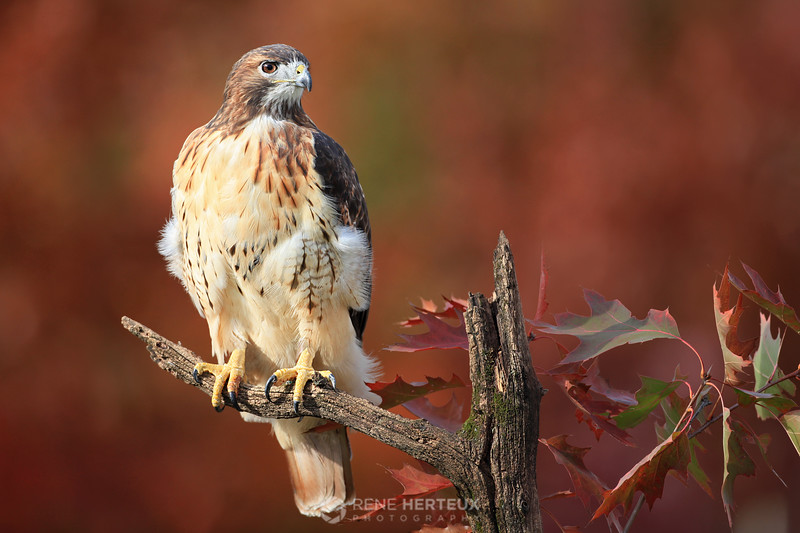 Red tailed hawk in fall colors