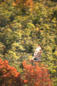 Ferruginous hawk in flight.  Photo by Scott Root, Utah Division of Wildlife Resources