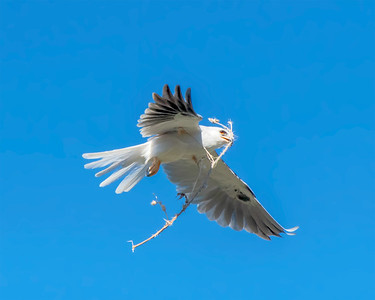 WHITE-TAILED KITE, N OUR NEIGHBORHOOD.