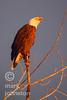 Bald Eagle [Haliaeetus leucocephalus]