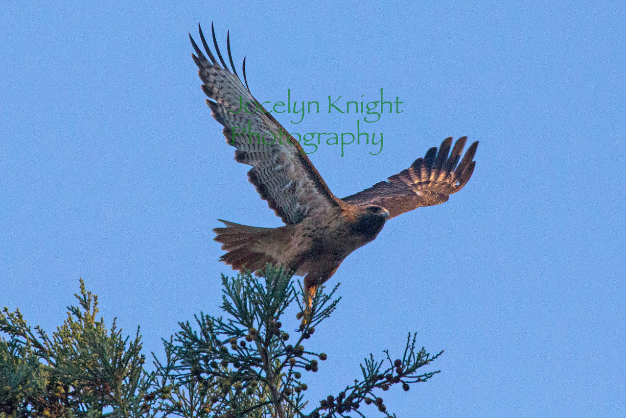 Red-tailed Hawk8741