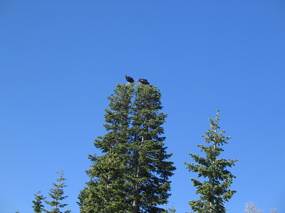 Two California condors in the tree tops near Kolob Reservoir, Utah.  Photo taken 6-21-08 by Dean Mitchell, Utah Division of Wildlife Resources.