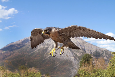 Peregrine Falcon female
