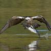 Eastern Osprey (Pandion cristatus)