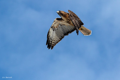 Red tailed Hawk202A0228