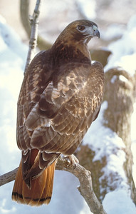 Red-tailed hawk in winter.  Photo by Phil Douglass