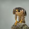 Peregrine Falcon Adult
