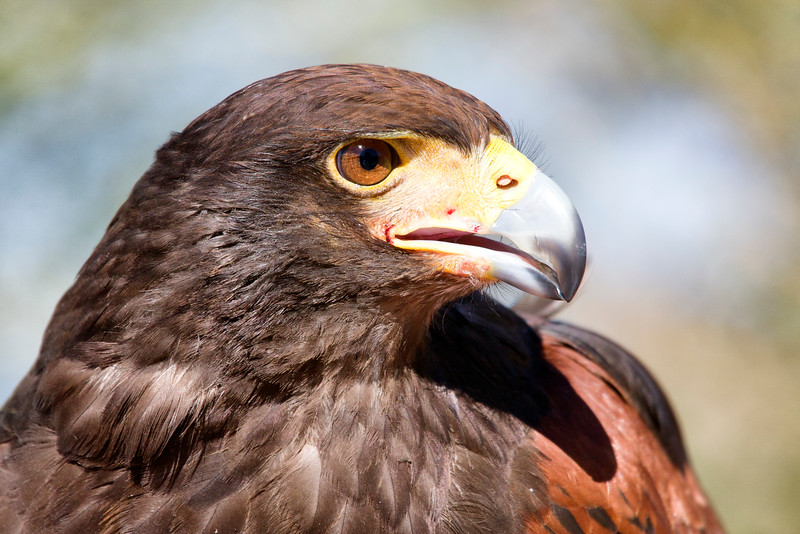 Harris's hawk profile (captive)