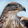 Ferruginous hawk profile (captive)