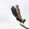 Harris's hawk take off