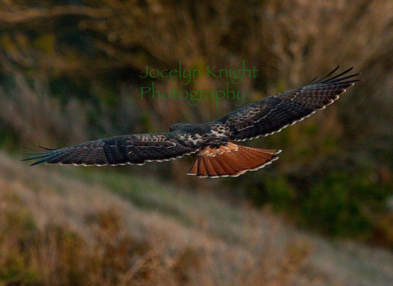 RedTail Hawk over Tiburon Ridge