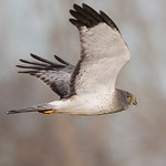 "Male Northern Harrier ""Grey Ghost"""