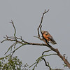 Red-shouldered Hawk couple