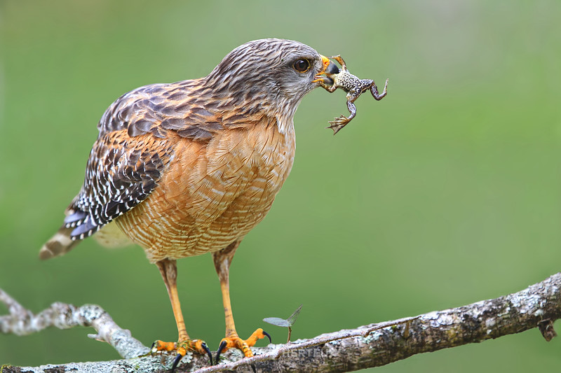 Red shouldered hawk and frog lunch