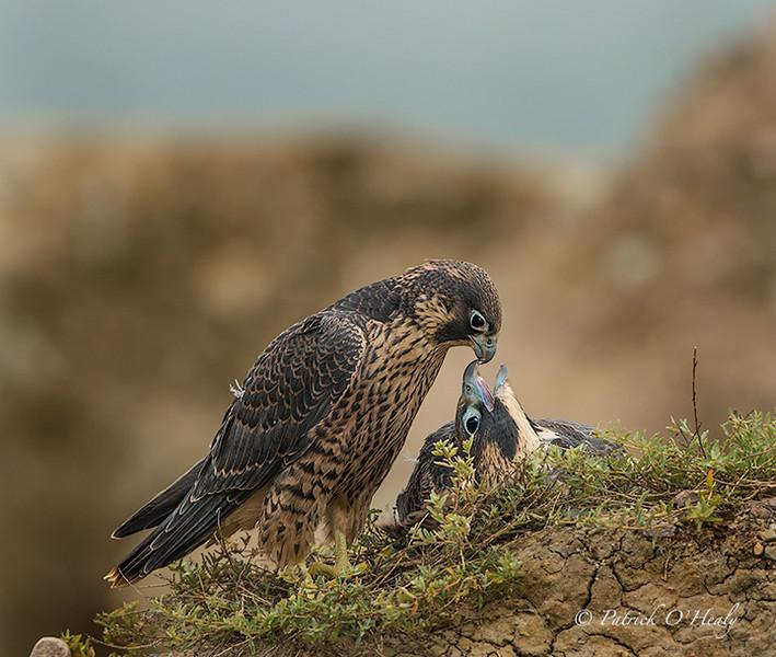 Peregrine Falcon Fledges