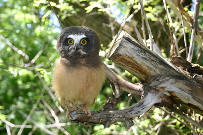 Young saw-whet owl perched on the end of a branch.  Photo by Scott Root, Utah Division of Wildlife Resources.
