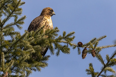 Red tailed Hawk202A0200