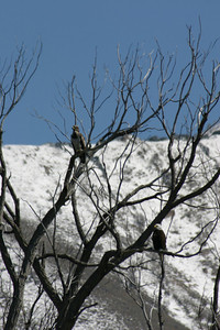 Immature and mature bald eagles in a tree in winter.  Photo by Scott Root, Utah Division of Wildlife Resources