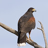 Harris's hawk looking at crowd at raptor free flight