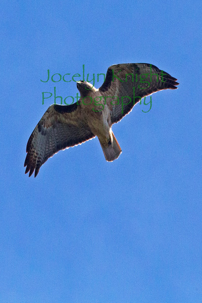 Red Tailed Hawk 2363ACR-2015DT