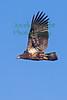 Eagle(8x12)8374