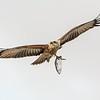 Immature Brahminy Kite  (Haliastur indus)