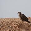 common(steppe) buzzard - dark morph<br /> עקב חורף מזרחי מופע כהה