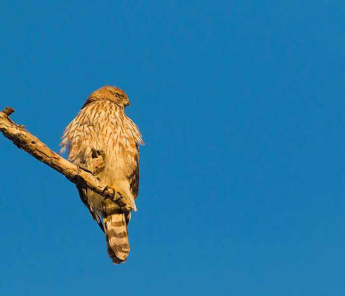 Kestrel on look out