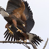 Harris's hawk family feud at desert museum