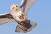 Snowy owl comin at ya!