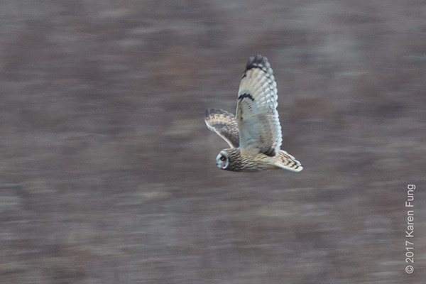 14 Jan: Short-eared Owl