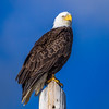 Bald Eagle, Atlin, British Columbia