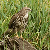 Common buzzard - juvenile עקב חורף - צעיר
