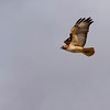 Red-tailed hawk flying over Santa Cruz flats