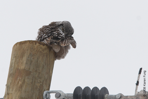 Dec 27th: Northern Hawk Owl preening in Peru, NY