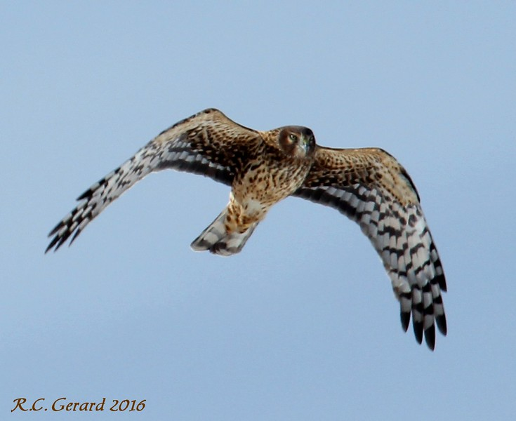 Northern Harrier over the campgrounds/west beach 2-6-16