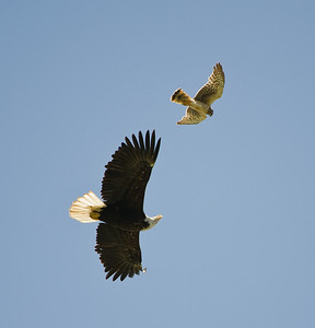 Bald Eagle being chased by a Northern Harrier