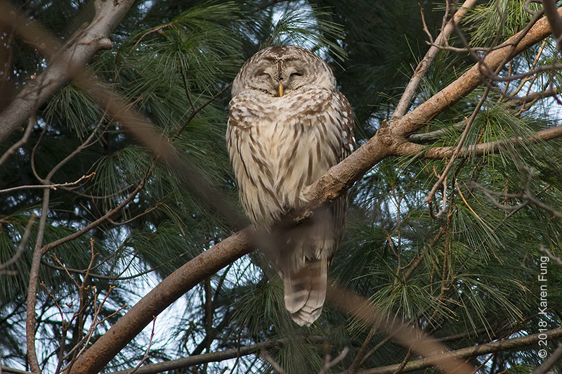 25 Dec: Barred Owl in Pelham Bay Park