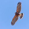 Harris's hawk soaring