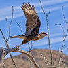 Ceasted Caracara at Desert Museum
