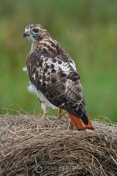 Red tailed hawk on hay bale