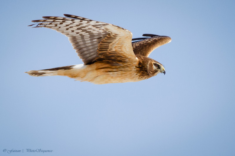 Marsh Hawk 'Northern Harrier' - At Richard W. DeKorte Park, Meadowlands, NJ