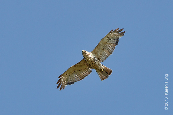 9 June: Immature Red-tailed Hawk on Staten Island