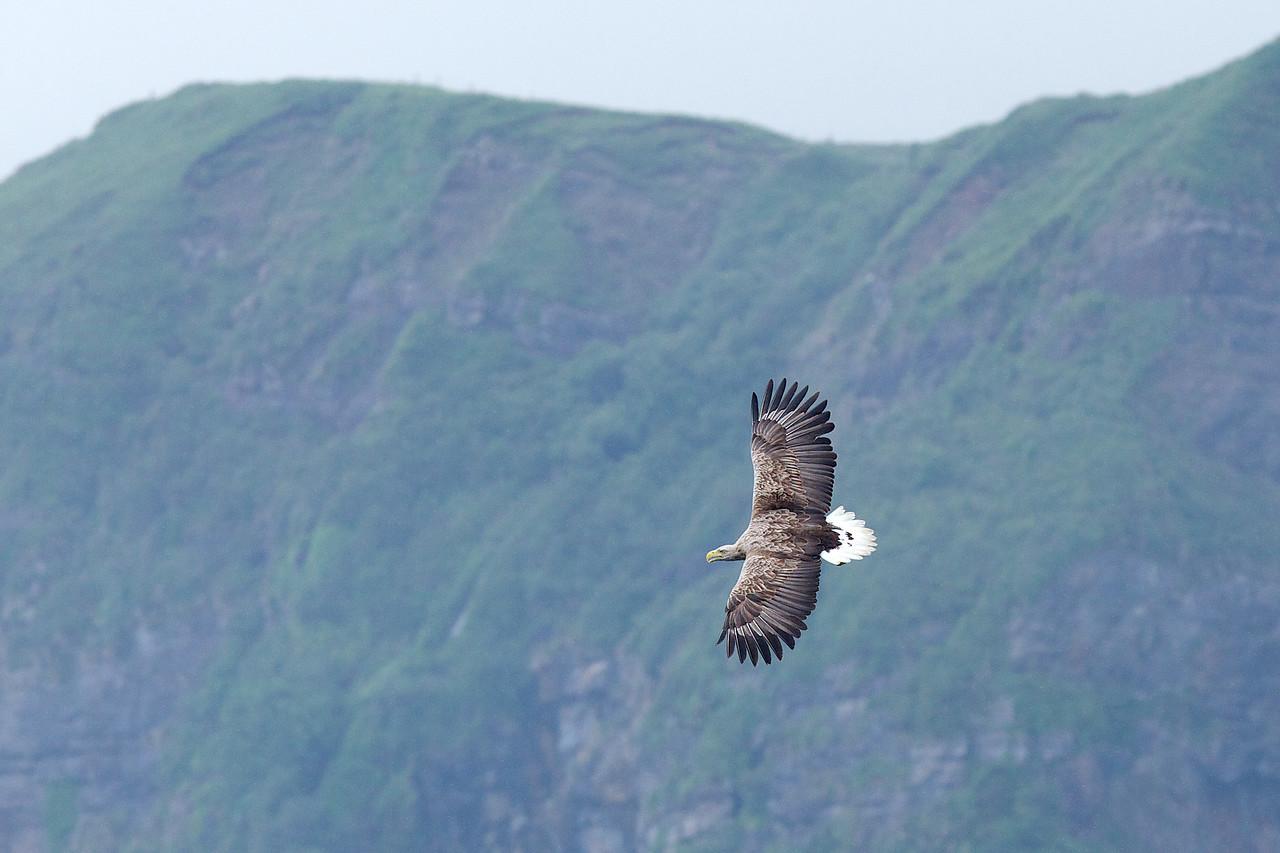 White_Tailed Eagle